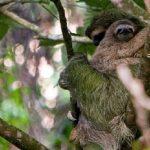hiking-corcovado-sloth