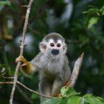 monkeys-corcovado